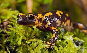 salamandra común por: countrysessions.org